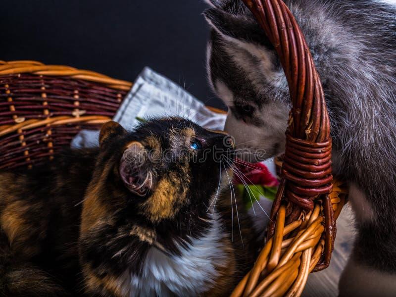 Cute siberian husky puppy cuddling cute kitten royalty free stock image