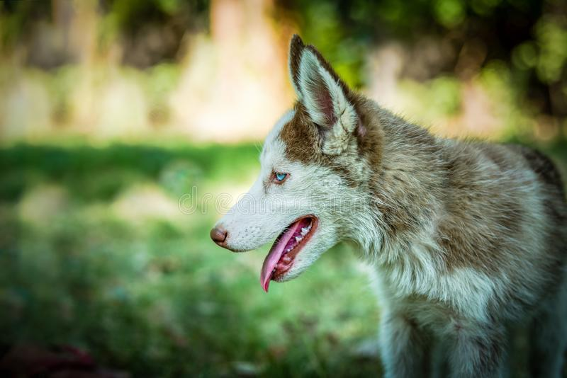 Cute Siberian Husky Puppy. Cute blue eyed siberian husky puppy looking left side in isolated background royalty free stock image