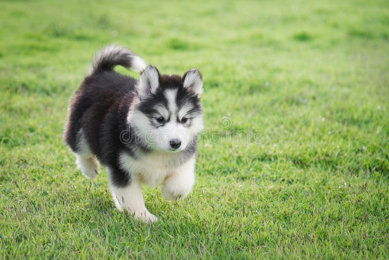 Cute siberian husky puppy stock image
