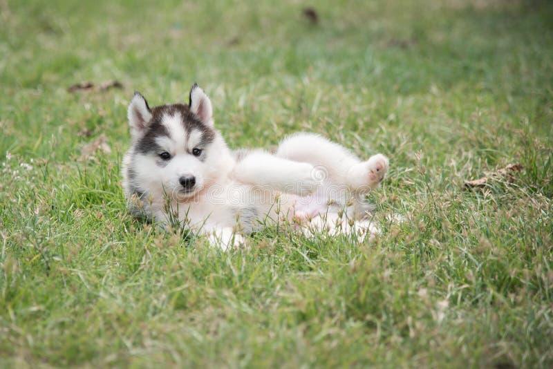 Cute siberian husky puppy laying stock photography