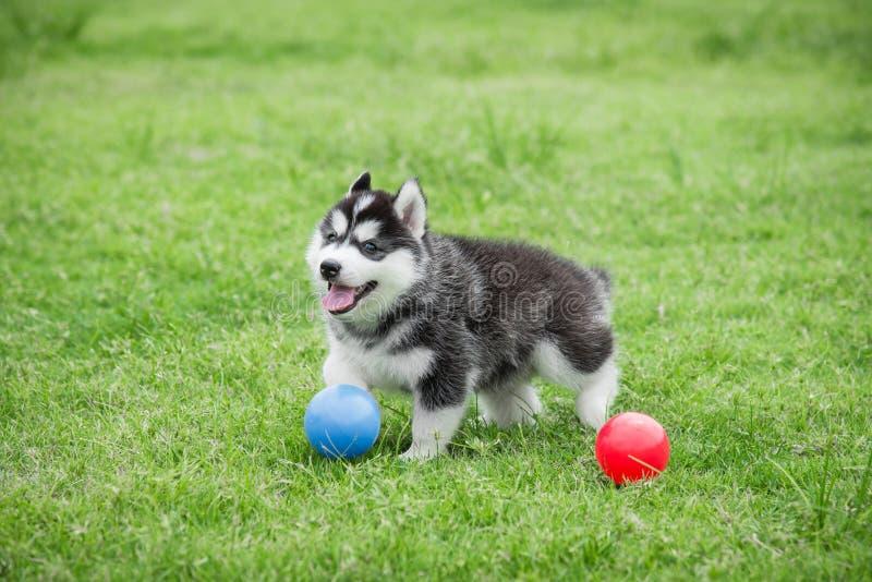 Cute siberian husky puppy playing ball stock photography