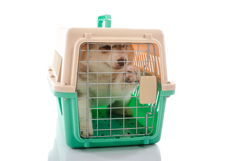 Cute siberian husky puppy in travel box. On white background isolated stock photos