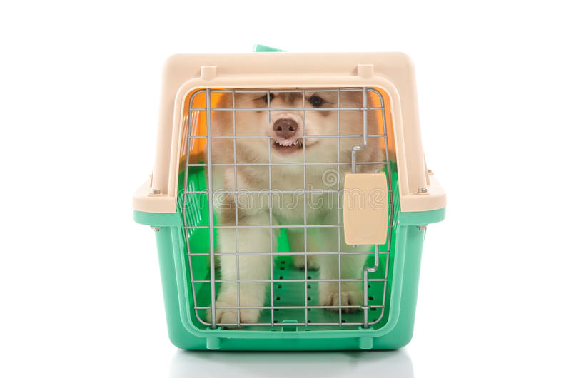 Cute siberian husky puppy in travel box. On white background isolated royalty free stock images