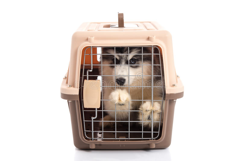 Cute siberian husky puppy in travel box on white background. Isolated royalty free stock photo