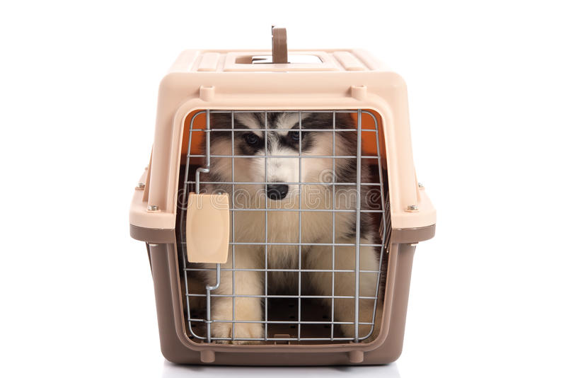Cute siberian husky puppy in travel box on white background. Isolated royalty free stock image