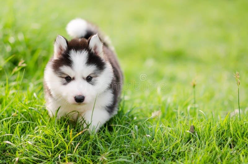 Cute siberian husky puppy walking on green grass royalty free stock image