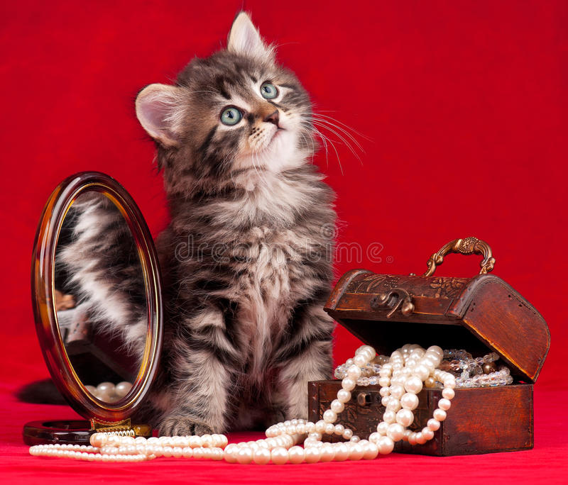 Cute siberian kitten stock images