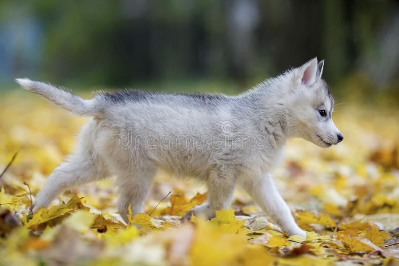 Cute Siberian puppy runs on yellow leaves royalty free stock images