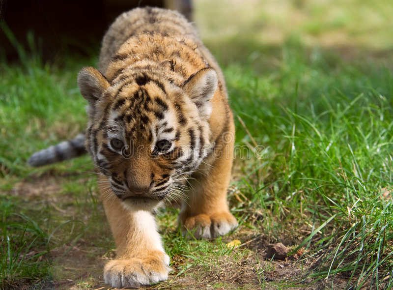 Cute siberian tiger cub. (Tiger Panthera tigris altaica royalty free stock image