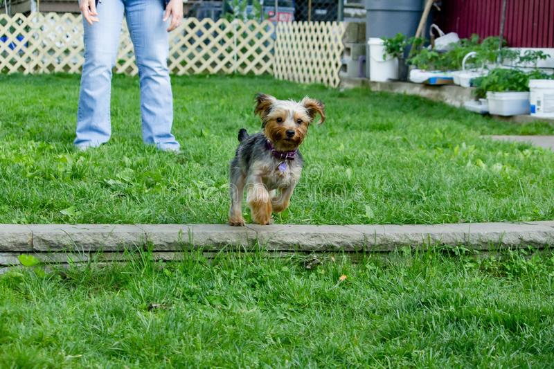 Cute Silky terrier type of dog running in the backyard stock photos