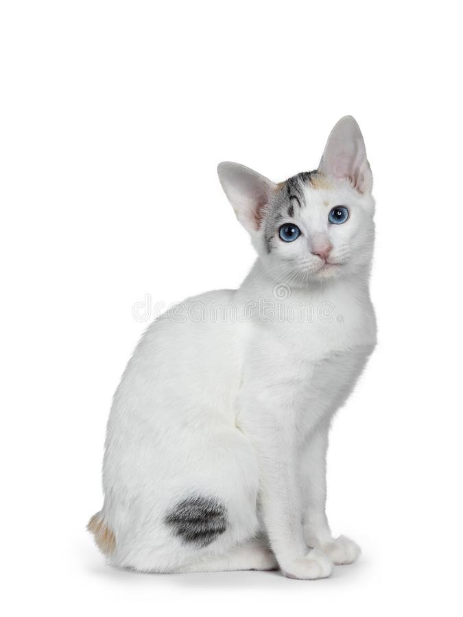 Cute silver patterned shorthair Japanese Bobtail cat kitten, Isolated on white background. royalty free stock images