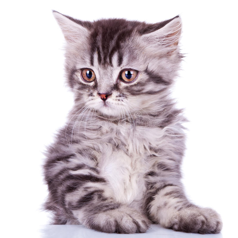 Cute Silver Tabby Baby Cat Royalty Free Stock Photo