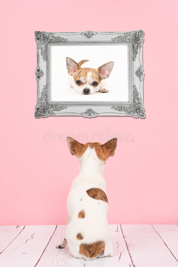 Cute Sitting Chihuahua Dog Seen At The Back In A Living Room Wit ...