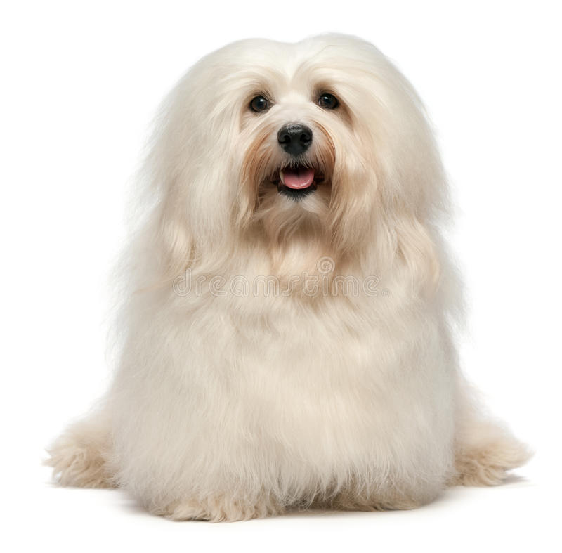 Cute sitting cream Havanese dog. A cute sitting cream havanese male dog is looking to camera, isolated on white background royalty free stock image
