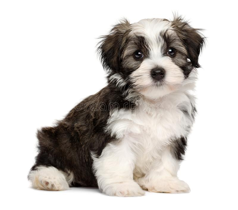 Cute sitting silver sable havanese puppy dog royalty free stock photo