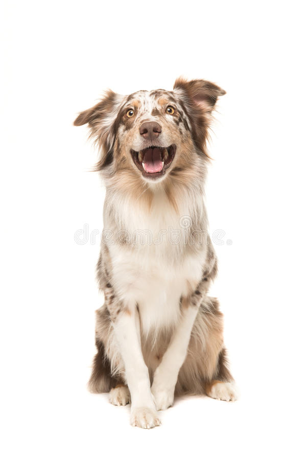 Cute sitting smiling australian shepherd facing the camera with royalty free stock image