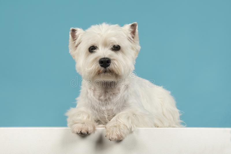 Cute sitting west highland white terrier or westie lying down lo royalty free stock photo