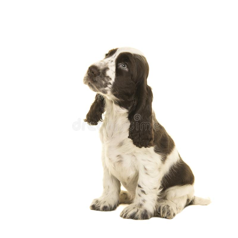 Cute sitting white and chocolate brown cocker spaniel puppy dog stock photography