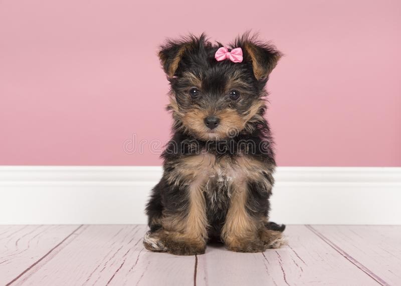 Cute sitting yorkshire terrier, yorkie puppy wearing a pink bow. Looking at the camera in a pink living room setting stock photos