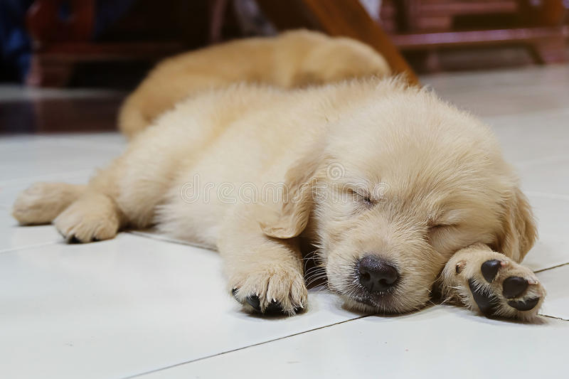 Cute sleeping dog. Golden retriever puppy stock photos