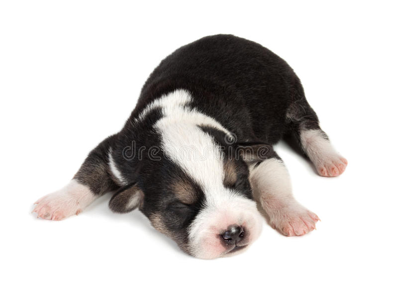 Cute sleeping little spotted havanese puppy dog royalty free stock image