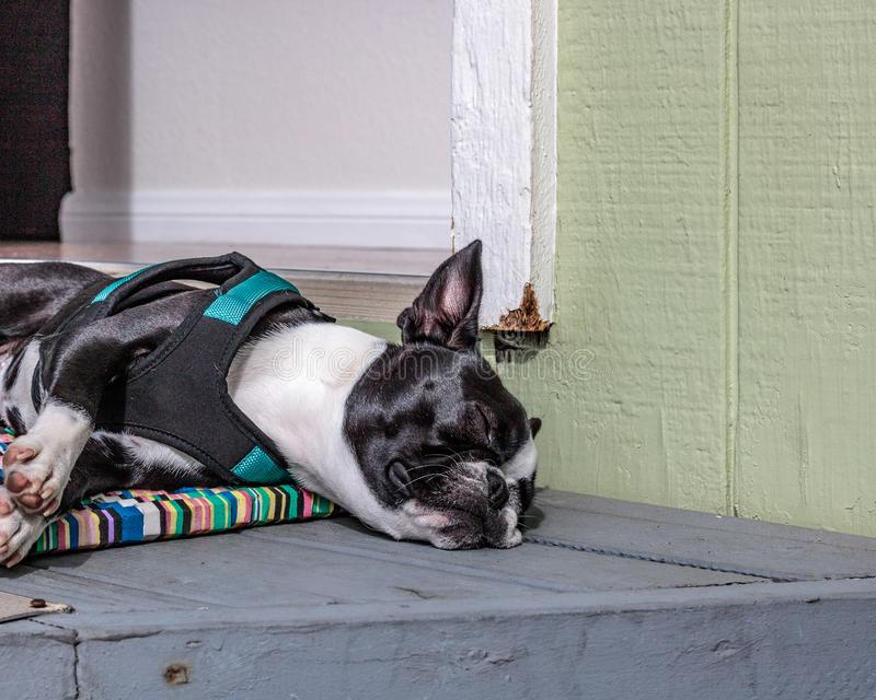 Cute, sleeping, snoring, young female boston terrier, face scrunched flat on napping front doorstep on multi-colored front door ma stock photo