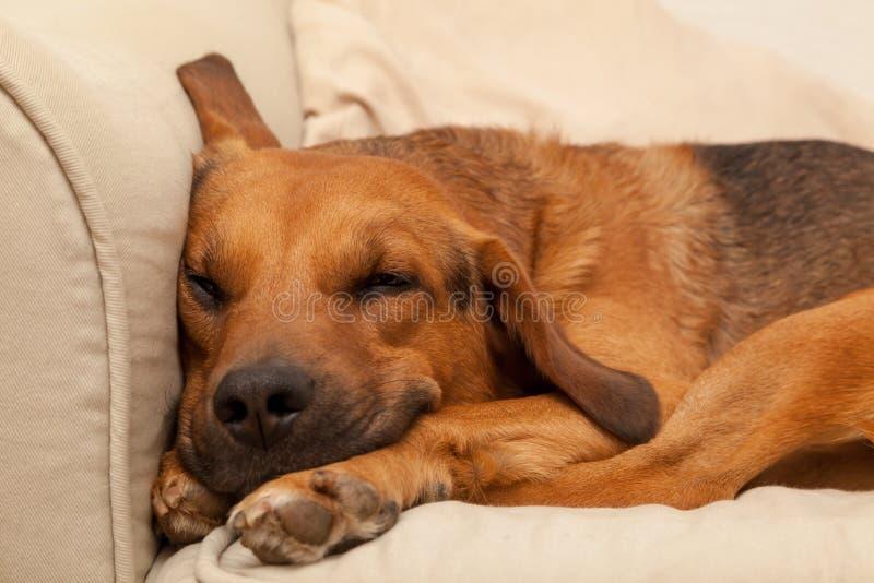Cute Sleepy Dog. Shot of Cute Sleepy Dog stock images