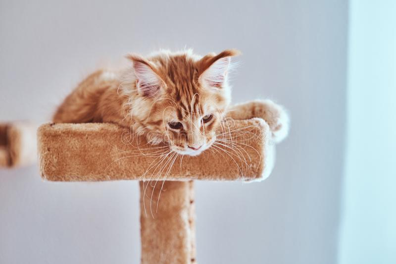 Cute sleepy maine coon kitten is lying on special cat`s furniture royalty free stock photos
