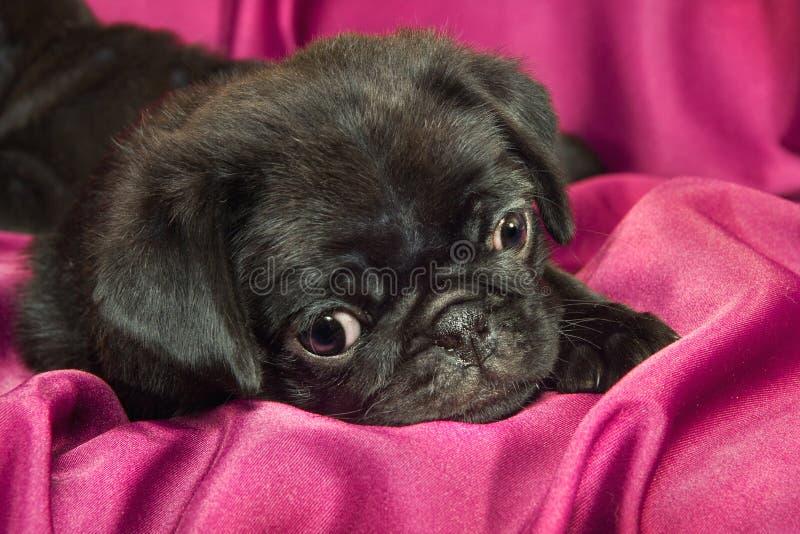 Cute Sleepy Pug Puppy Royalty Free Stock Photography