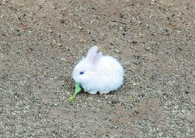 Cute Small Baby Easter Bunny (White Rabbit) Sit and Eat Vegetable royalty free stock image