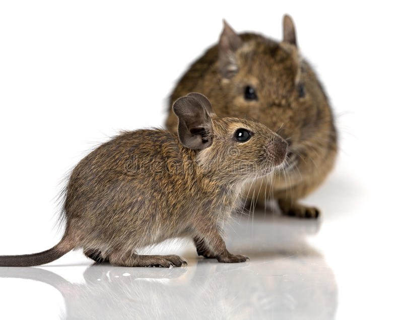 Cute small baby rodent degu pet with its mom stock photo