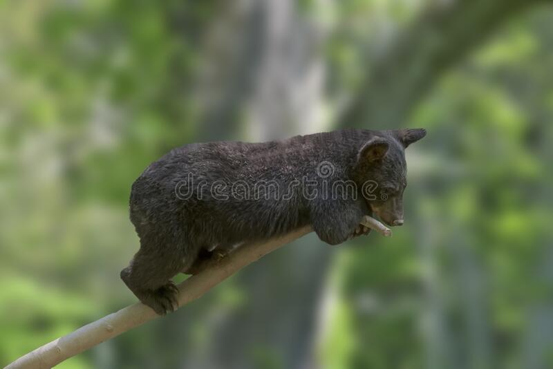 Cute small black bear on a tree branch with blurred background. A cute small black bear on a tree branch with blurred background stock photos