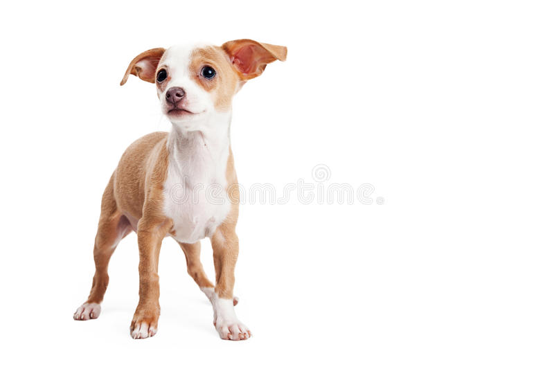 Cute Small Breed Puppy With Copy Space. Adorable little Chihuahua crossbreed puppy on white with blank room for text stock photo