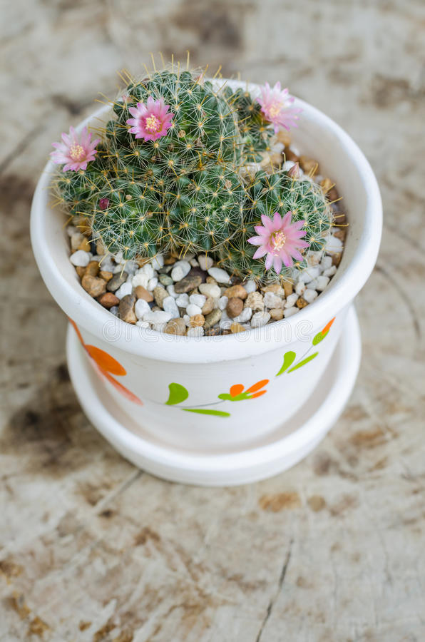 Cute small cactus with flower in pot stock photo image of brown download cute small cactus with flower in pot stock photo image of brown beautiful mightylinksfo Images