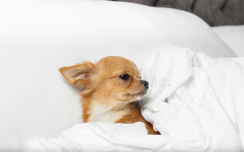 Cute small Chihuahua dog  in bed royalty free stock photography