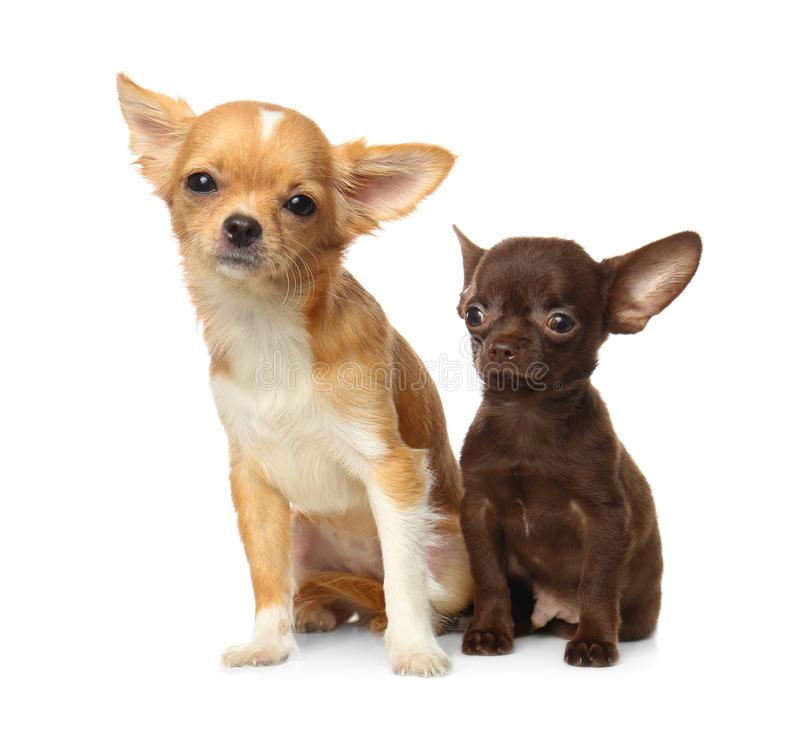Cute small Chihuahua dogs on white stock photography