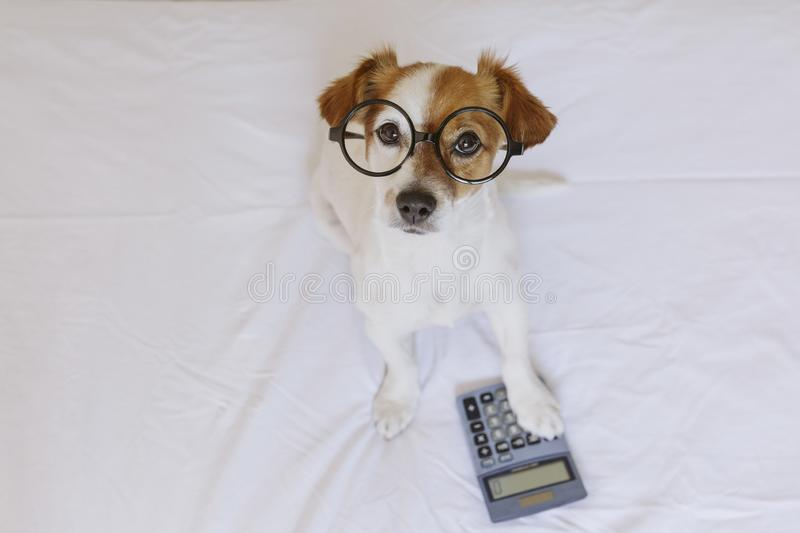 Cute small dog accountant thinking and calculating with calculator on bed. Pets indoors. Working at home royalty free stock images