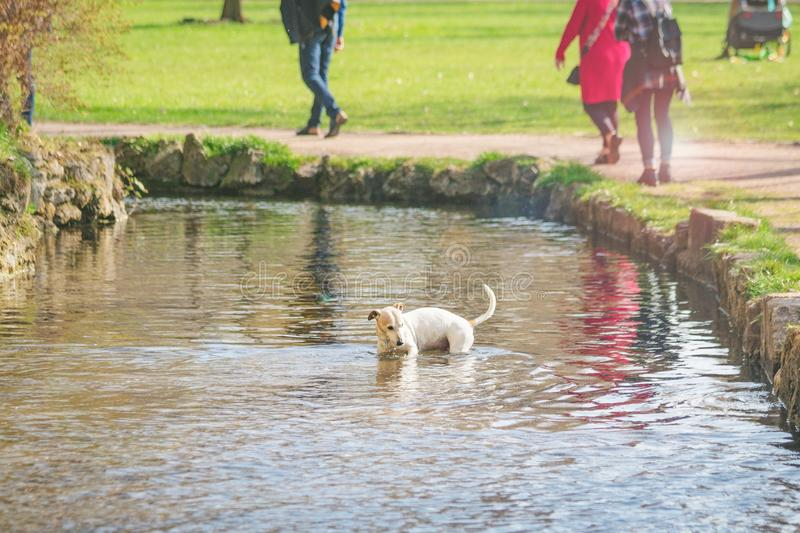 Cute small dog bathing in a lake. Sunny spring day, toned photo stock image