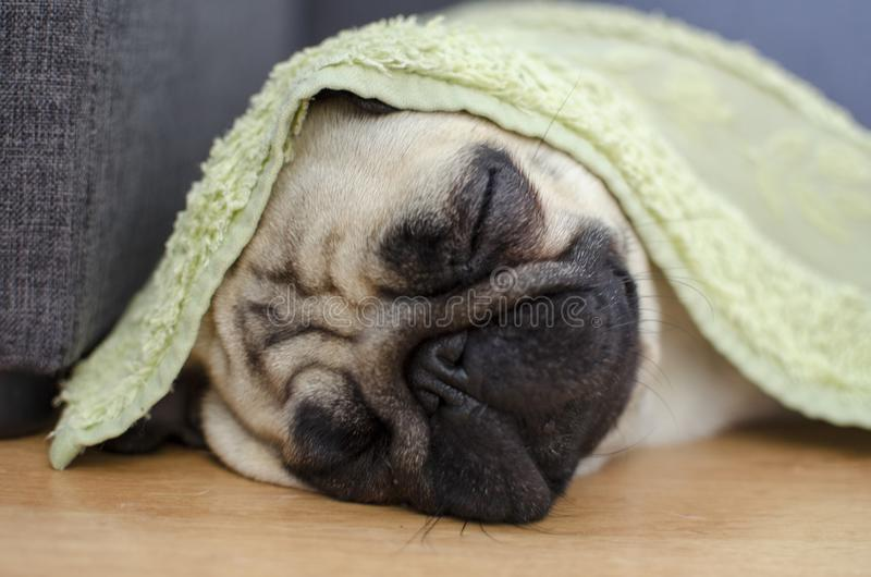 Cute small dog breed pug sleeping under the wet towel. way to sa. Ve brachycephalus dog from heat royalty free stock photo