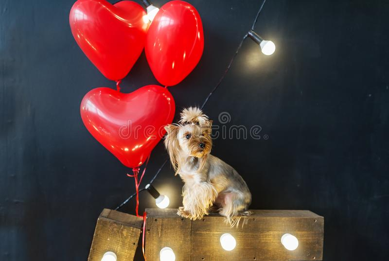 Cute small dog with heart shape balloons for valentines stock photos