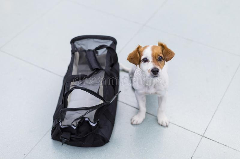 Cute small dog with his travel bag ready to get on board the airplane at the airport. Pet in cabin. Traveling with dogs concept. International, funny, journey royalty free stock photo