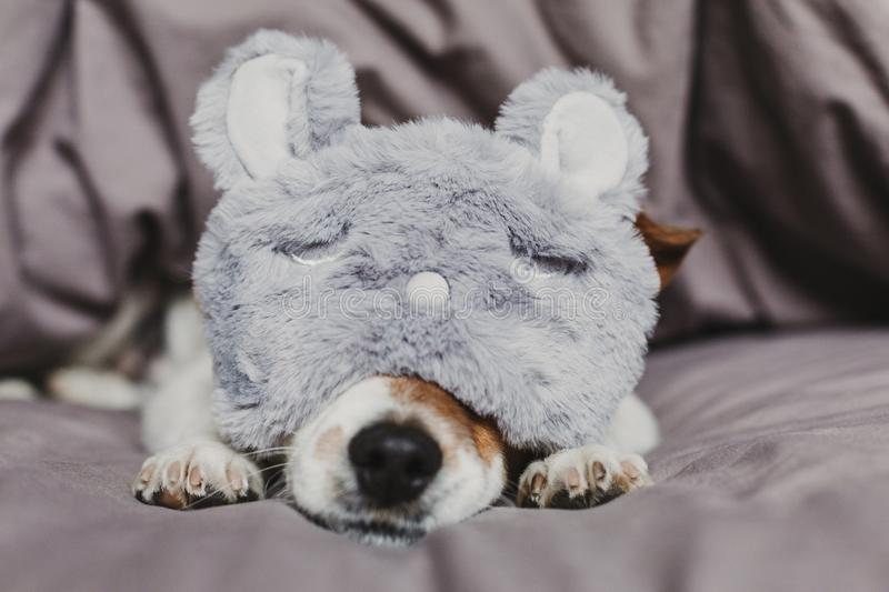 Cute small dog lying on bed and wearing a rabbit sleeping mask. Pets indoors at home stock photography