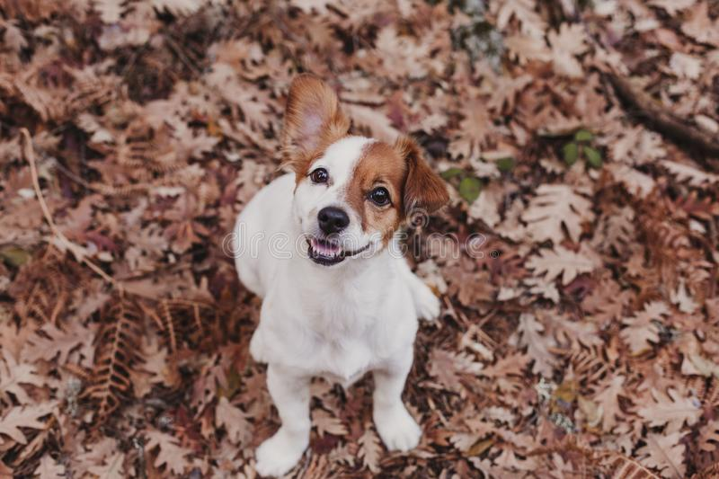 Cute small dog portrait looking at the camera. Sitting on brown leaves background. Autumn concept. pets Outdoors. Leaf nose breed animal fall russell nature royalty free stock photo