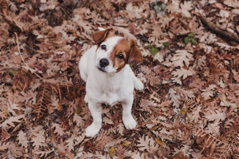 Cute small dog portrait looking at the camera. Sitting on brown leaves background. Autumn concept. pets Outdoors. Leaf, nose, breed, animal, fall, russell royalty free stock photos
