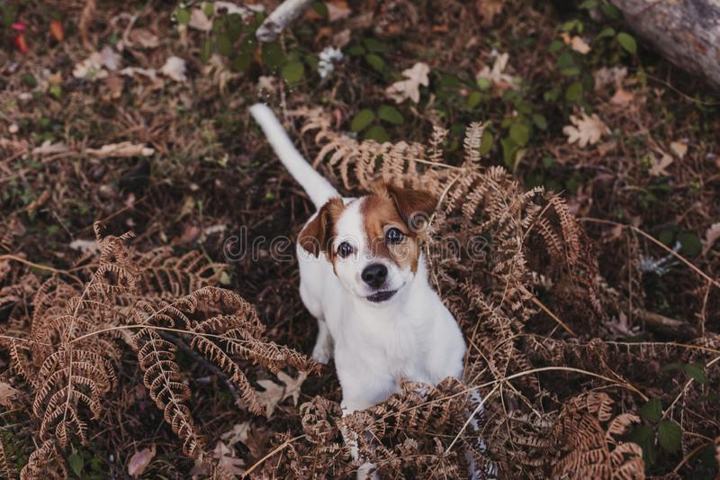 Cute small dog portrait. Sitting on brown leaves background. Autumn concept. pets Outdoors. Leaf nose breed animal fall looking russell nature clothing grey stock photography