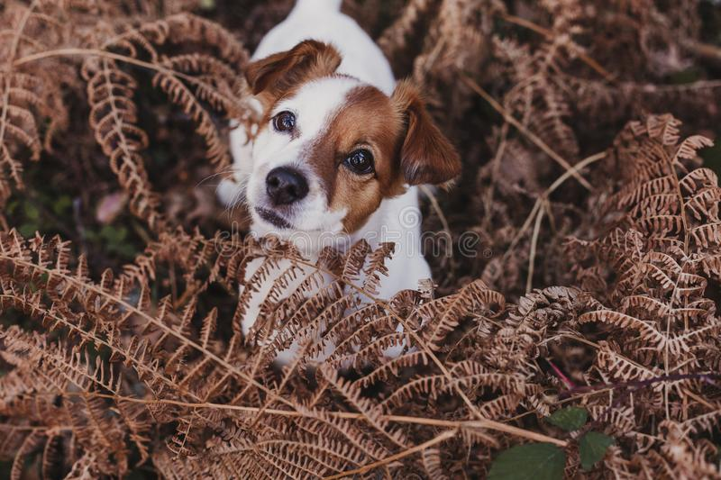 Cute small dog portrait. Sitting on brown leaves background. Autumn concept. pets Outdoors. Leaf nose breed animal fall looking russell nature clothing grey stock photos