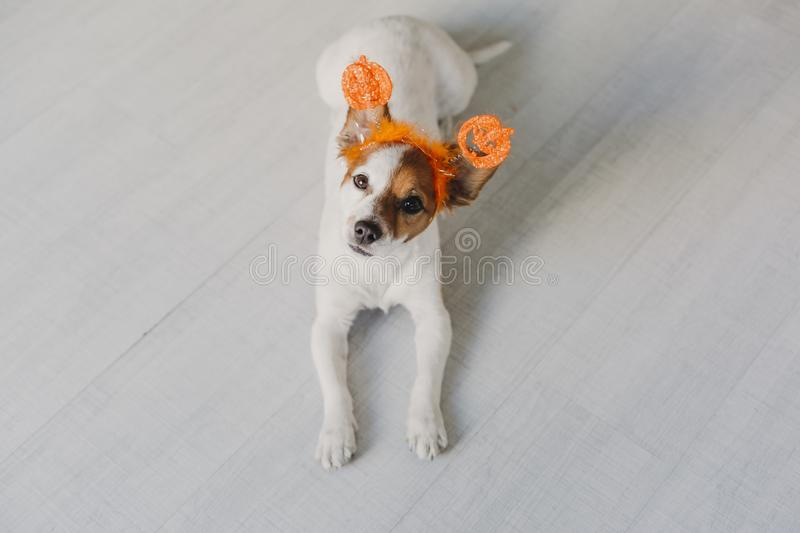 cute small dog resting on the floor and looking at the camera, wearing an orange halloween diadem. Concept, lifestyle indoors stock photos