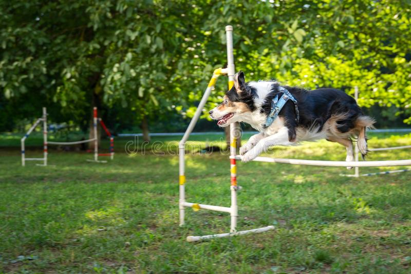 Cute small dog running on agility competition. Dog in an agility competition set up in a green grassy park. Border Collie jumping stock photo