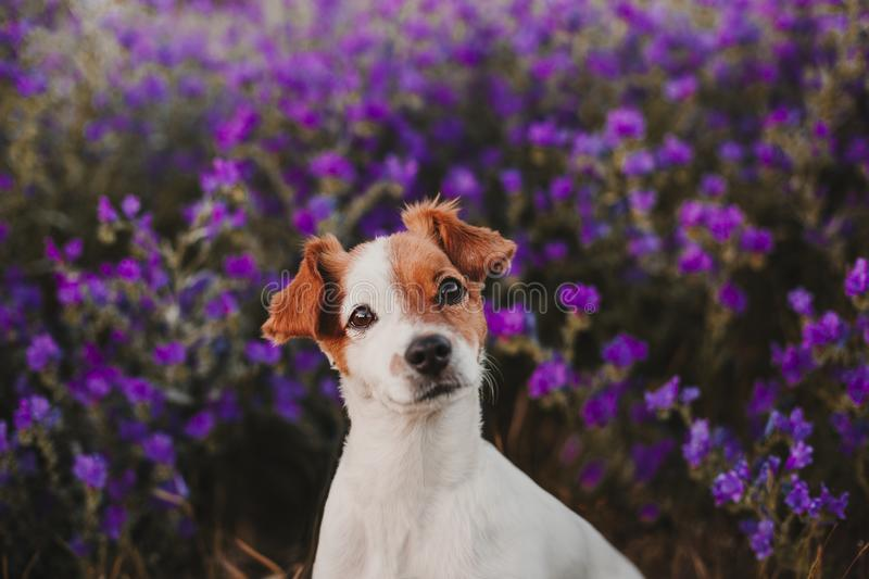 cute small dog standing outdoor in spring or summer purple field flowers with beautiful lighting at sunset. Nature and pets royalty free stock photos