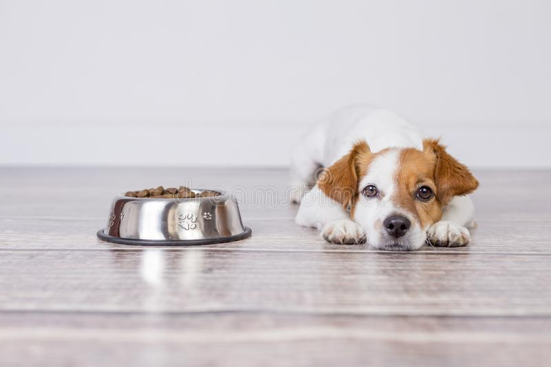 Cute small dog waiting for meal or dinner the dog food. he is lying on the floor and looking at the camera. white background and royalty free stock images